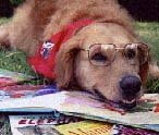 golden retriever wearing glasses looking at a picture book